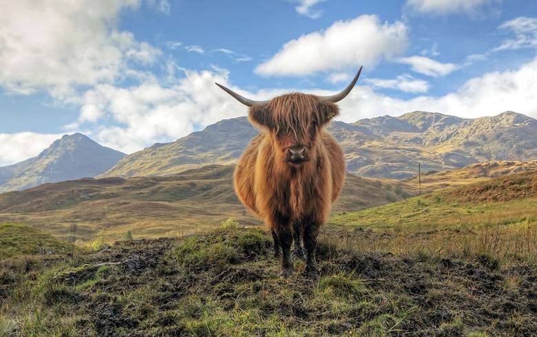 A highland cow in the Trossachs, with the Arrochar mountains in the distance © Targn Pleiades  Shutterstock